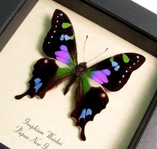 borboleta colorida