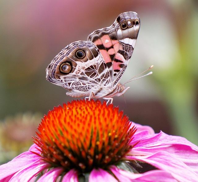 borbolta rosa claro