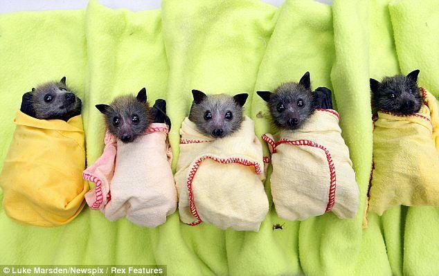 morcego filhotes